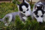 Сибирский хаски щенки КСУ-FCI