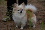 Чихуахуа клубные д/ш щенки: миниатюра и стандарт