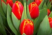 Тюльпаны оптом от производителя к 8 марта и 14 февраля