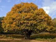 Капы,  сувель,  наросты,   корни,  комель дерева с красивой текстурой.
