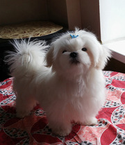 Белоснежный мальчик – щенок мальтезе,  мини формат,  с беби-фейс