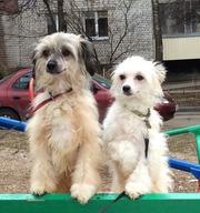 Продам щенков китайской хохлатой собачки,  пуховые девочка и мальчик!