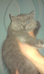 Британский котенок Шаман.