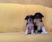 Китайской хохлатой собачки, мальчики.Чистые на PLL, PRA.