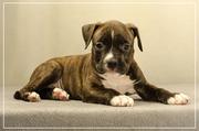 Продам жизнерадосного щенка Амстафф Терьера
