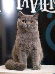 Чистокровный британский котик голубого окраса Брюс (Bruce)