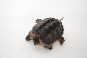 Каймановая черепаха,  черепашка каймановая