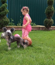 Подрощенная девочка, китайской хохлатой собачки-Жессика, 28см.Чистая на PLL, PRA.