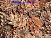 Сосновые  и еловые шишки для поделок