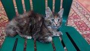 Продам чистокровных котят Мейн-Куны