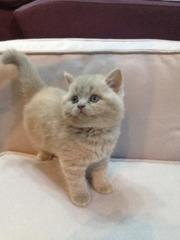 Шотландский лиловый котенок scottish straight