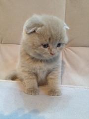Продам Вислоухий шотландский лиловый котенок (мальчик) скоттиш фолд (s