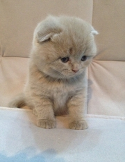 Шотландский вислоухий лиловый котенок мальчик scottish fold