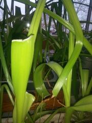Индийский лук-лечебное уникальное растение