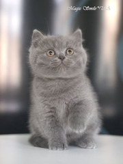 Профессионально выращенные чистокровные британские котята из питомника