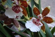 Орхидея камбрия