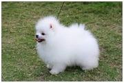 Предлагаем к продаже белых щенков померанского шпица!