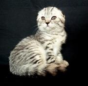 Элитный табби котенок Mike D. Angelo с паспортом и документами клуба