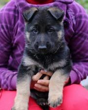 Продам породистых щенков немецкой овчарки