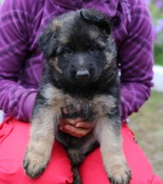 Продам породистых длиношерстных щенков немецкой овчарки