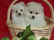 Шпиц померанский щенки