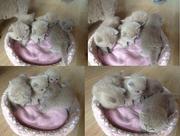 Лиловые шотландские вислоухие котята