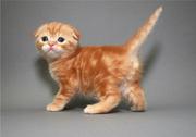 Ярко-рыжий вислоухий котенок