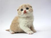 Вислоухий котенок мальчик,  породный,  чистокровный,  с документами