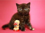 Шотландская вислоухая девочка (котенок)