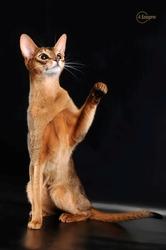 Абиссинская красавица-кошка переедет в новый дом