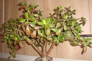 Товстянка або Грошове дерево
