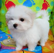 Двухмесячный щенок-девочка-мини