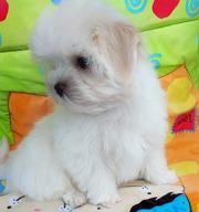Трехмесячный щенок мальтезе – девочка-мини,  беби-фейс.
