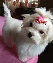 Четырехмесячная девочка - милашка,  щенок мальтийской болонки (мальтез