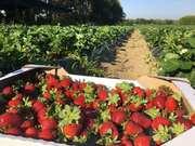 Предлагаю сезонную работу на ягодной ферме под Киевом ЗП высокая
