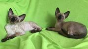 пойнтовые котята корниш-рекс
