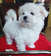 Миниатюрные щенки мальтезе-девочки – 3 месяца.