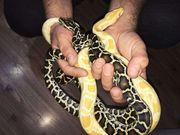Ручные змеи – неядовитые ,  разные виды Молочные и Королевск