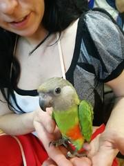 Папуга сенегал - аналог жако в мініатюрі