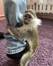 Продам ручную обезьяну