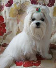 Подрощенный щенок мальтезе – шестимесячный мальчик-миник.