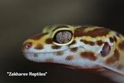 Леопардовый геккон,  пятнистый эублефар  Eublepharis macularius. Киев