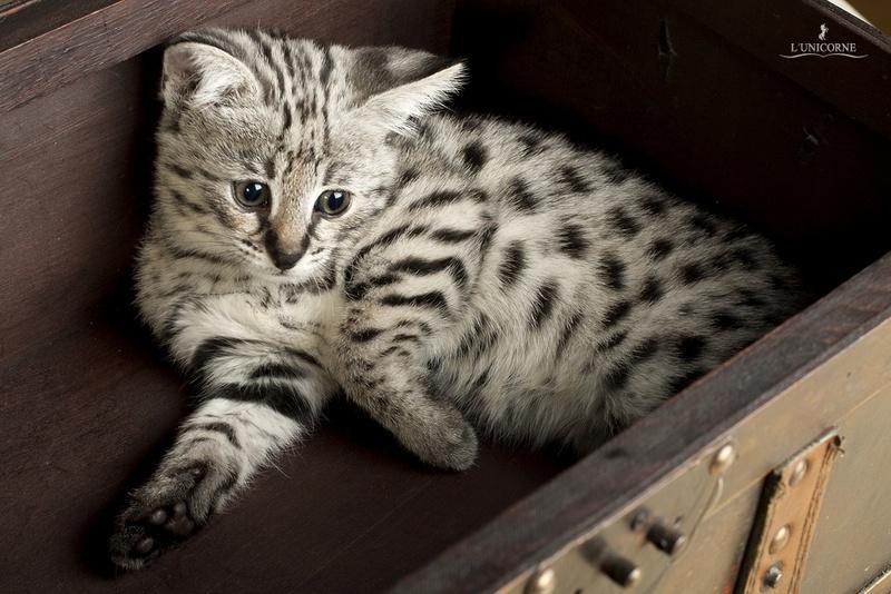 Дорогая порода в мире кошки и котята