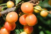 Саджанці плодових дерев,  кущів . Саженцы Киев