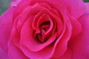 Широкий вибір рози садової по 24 грн. ,  від 100 шт. Розы садовые .